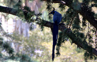 Blackthroated Magpie-Jay
